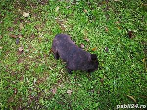 Bulldog Francez - imagine 9