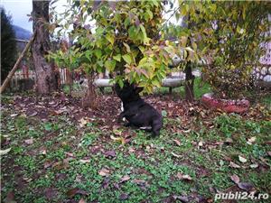Bulldog Francez - imagine 7