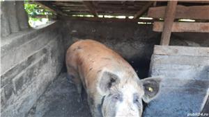 Vând porc (purcea) - imagine 1