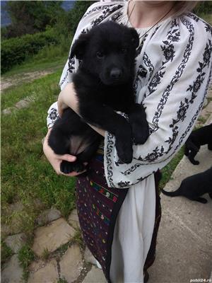 Pui ciobănesc Alsacian, lup negru - imagine 6