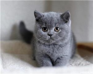 British Shorthair Blue - Genetica de top - garantie veterinara - imagine 2