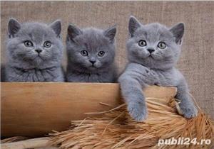British Shorthair Blue - Genetica de top - garantie veterinara - imagine 1