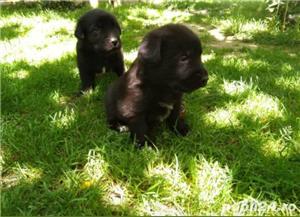 Labrador - puiu i de vânzare - imagine 1