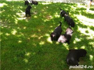 Labrador - puiu i de vânzare - imagine 2