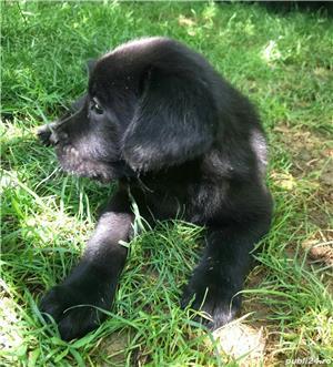 Labrador - puiu i de vânzare - imagine 5
