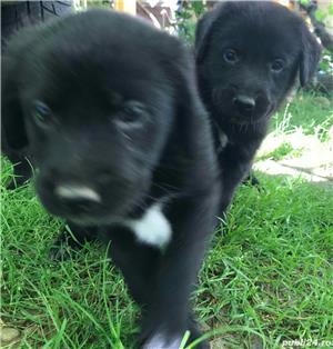 Labrador - puiu i de vânzare - imagine 4