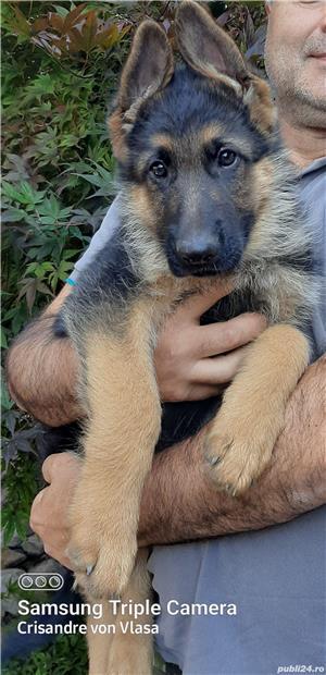 Catei ciobanesc german cu pedigree,calitate superioara - imagine 5