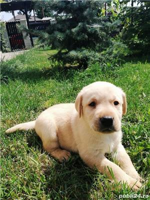 Labrador golden retriever - imagine 2