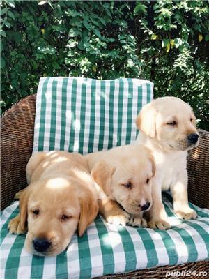 Labrador golden retriever - imagine 5