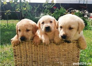 Labrador golden retriever - imagine 4