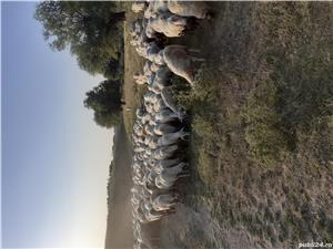 Vand 350 de oi țigaie si assaf - imagine 1