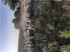 Vand 350 de oi țigaie si assaf - imagine 3